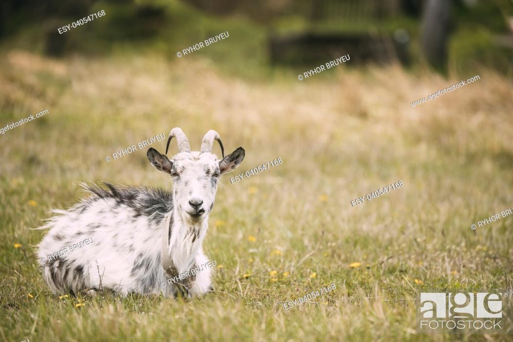 Stock Photo: Goat Sitting In Spring Grass In Village. Farm Animal.