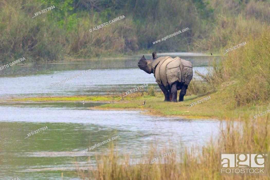 Stock Photo: Greater One-horned Rhinoceros, Indian Rhinoceros, Asian Rhino, Rhinoceros unicornis, Wetlands, Royal Bardia National Park, Bardiya National Park, Nepal, Asia.