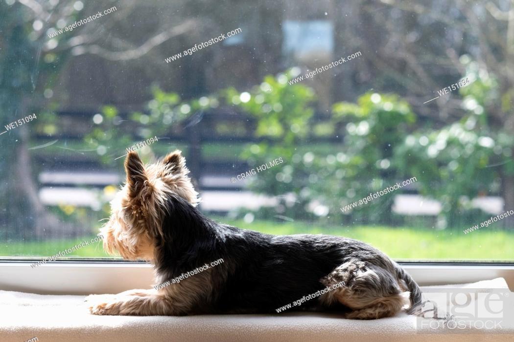Stock Photo: A dog waiting on a window ledge.