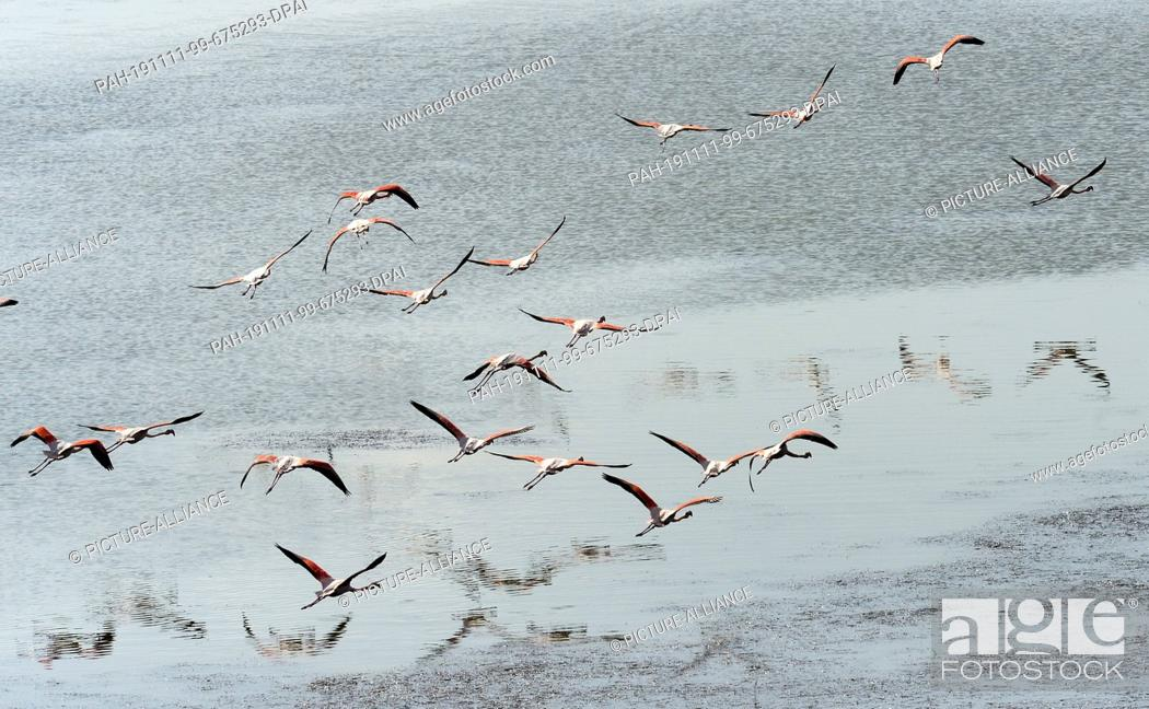 Stock Photo: 06 November 2019, Turkey, Didim: Flamingos fly over Lake Bafa. The water is an inland lake on the west coast of Turkey, formed from a former estuary.