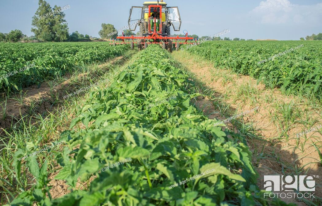 Stock Photo: Tractor spraying pesticides over young tomato plants. Extremadura, Spain.