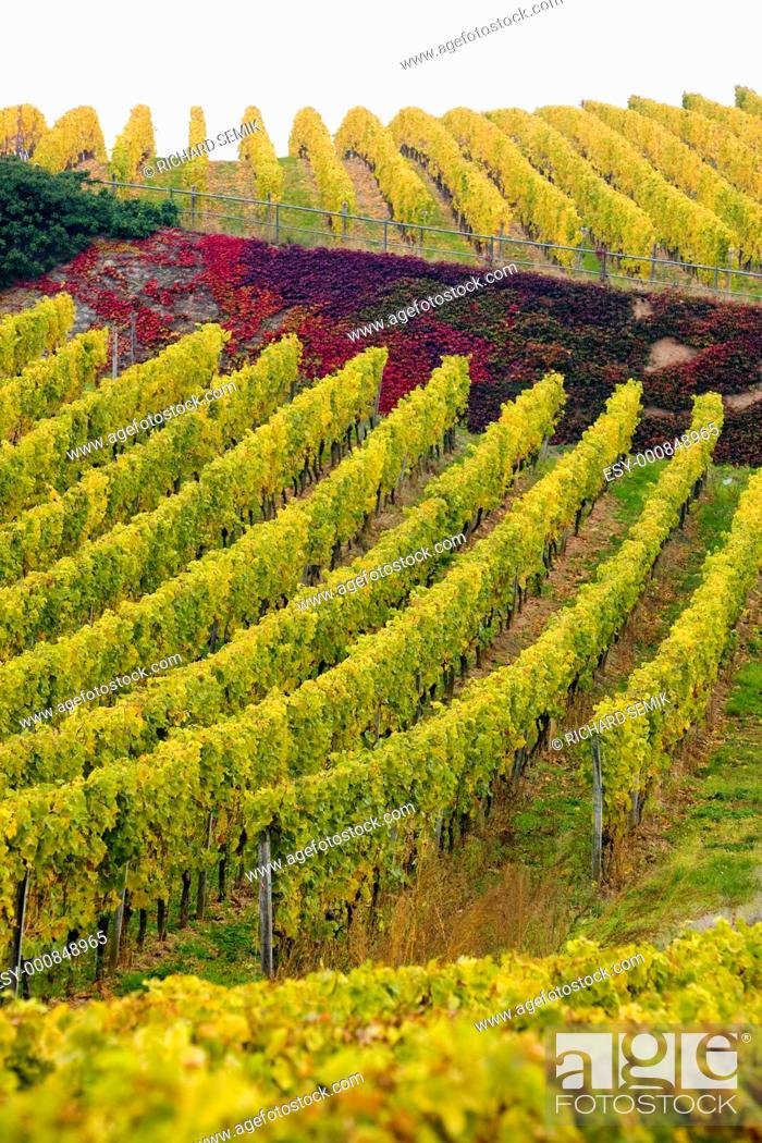 Stock Photo: vineyards near Johannisberg Palace, Hessen, Germany.