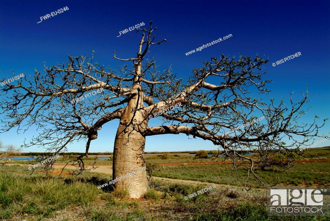 Stock Photo: Adansonia digitata, Baobab, Brown subject.
