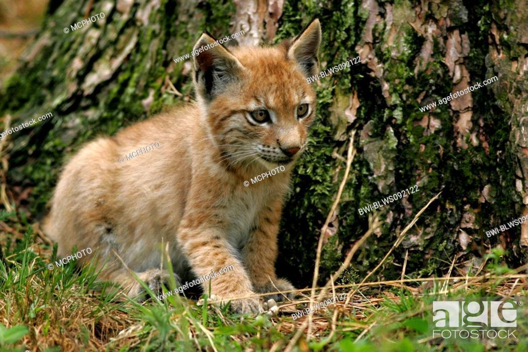 Stock Photo: Eurasian lynx Lynx lynx, pup, Germany, NP Bavarian Forest.