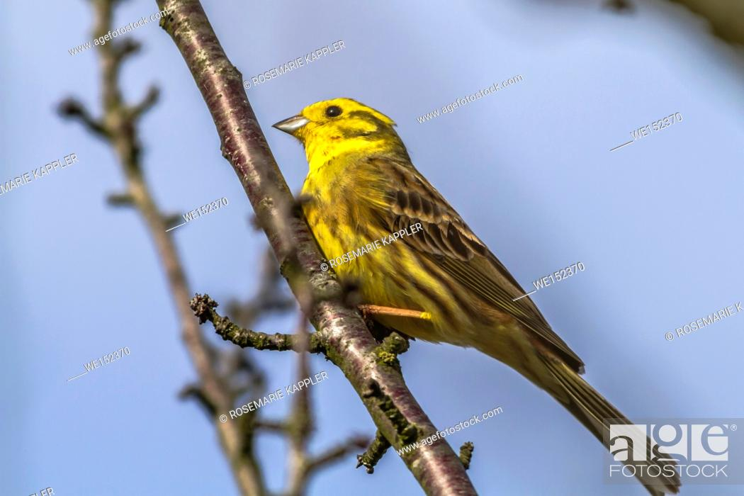 Stock Photo: Germany, Saarland, Homburg - A yellowhammer is sitting on a branch.