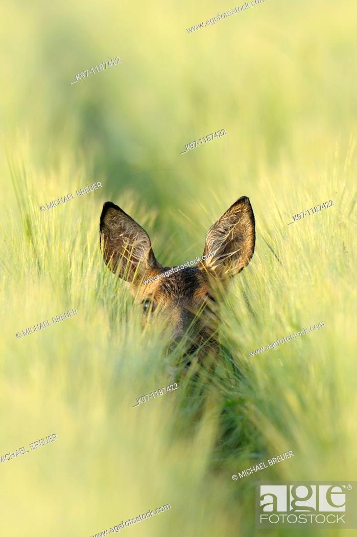 Stock Photo: Roe deer (Capreolus capreolus) in grain field, Summer, Germany.