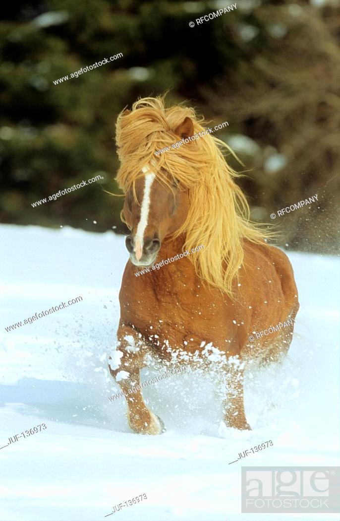 Stock Photo: Icelandic horse - running in snow.