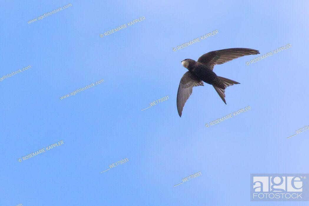 Stock Photo: Germany, Saarland, Homburg - A common swift in the flight over homburg.