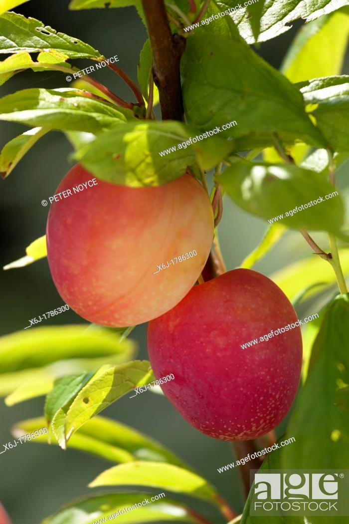 Stock Photo: two ripe plums, Plum Lizzie - Prunus domestica, - yellow red colour - on branch of tree.