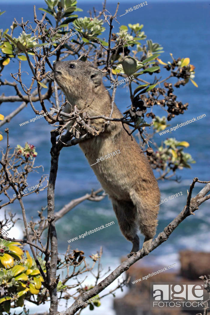 Stock Photo: Rock Dassie, Procavia capensis, South Africa, adult on tree.