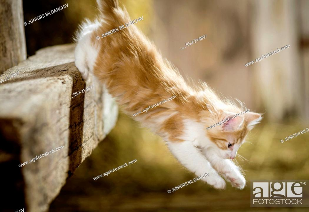 Stock Photo: Norwegian Forest Cat. Kitten in a barn, jumping down from a wooden beam. Germany.