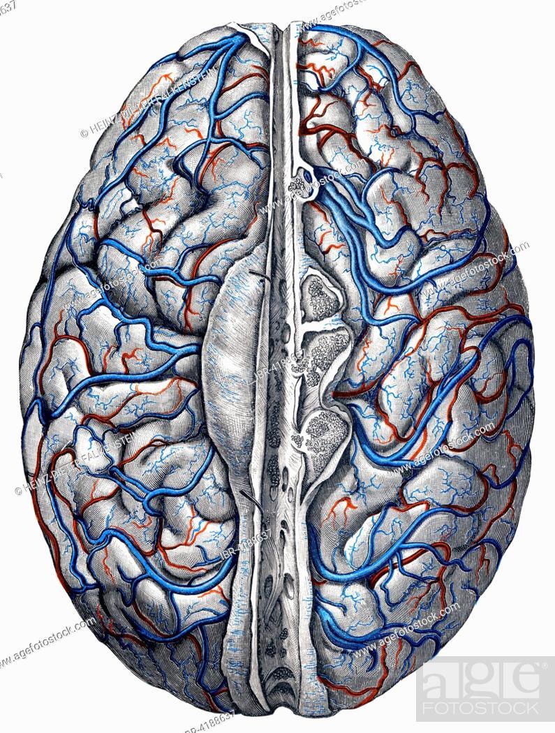 Veins In Brain By Toldt Anatomical Atlas 1906 Illustration