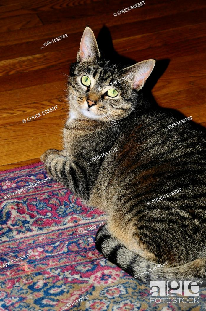 Stock Photo: Domestic tabby cat looking up.