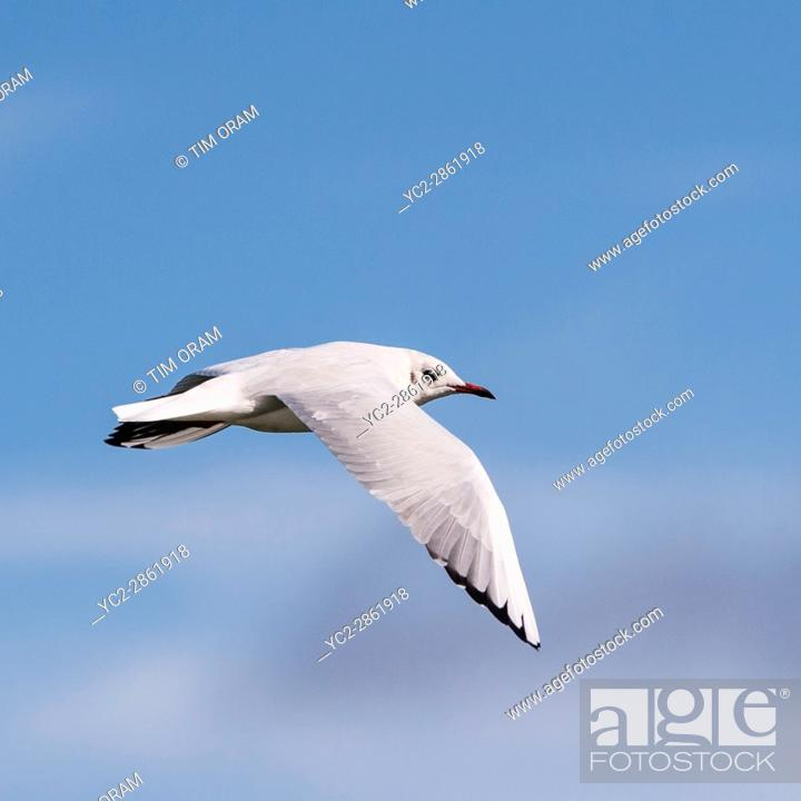 Imagen: A seagull sea gull in flight in the Uk.