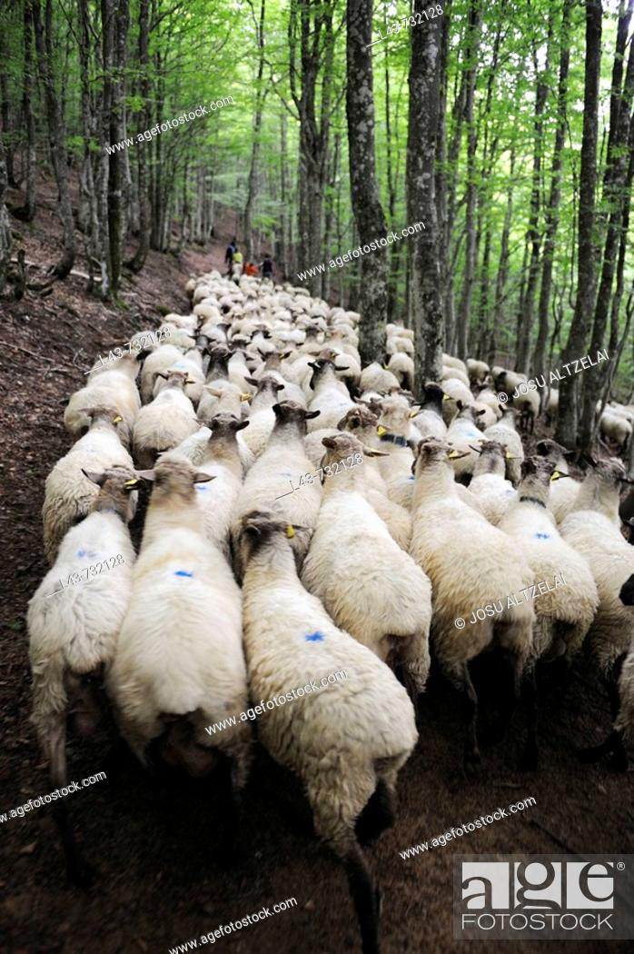 Stock Photo: Transhumance to higher pastures in Urbia from 'caserío' (typical farm) in the lowland, Basque Country, Spain.
