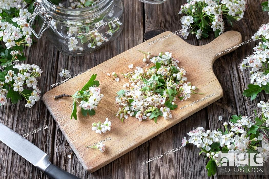 Stock Photo: Cutting up hawthorn flowers to prepare homemade herbal tincture for the heart.