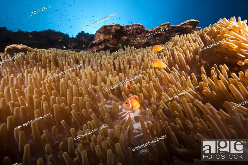 Stock Photo: Pink anemonefish in Sea anemone, Amphiprion perideraion, Kimbe Bay, New Britain, Papua New Guinea.