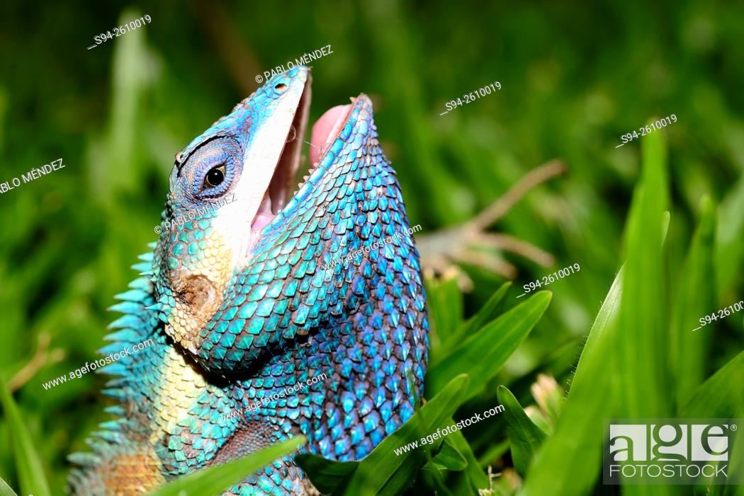 Stock Photo: Blue crested lizard (Calotes mystaceus) in Chiang Mai, Thailand.
