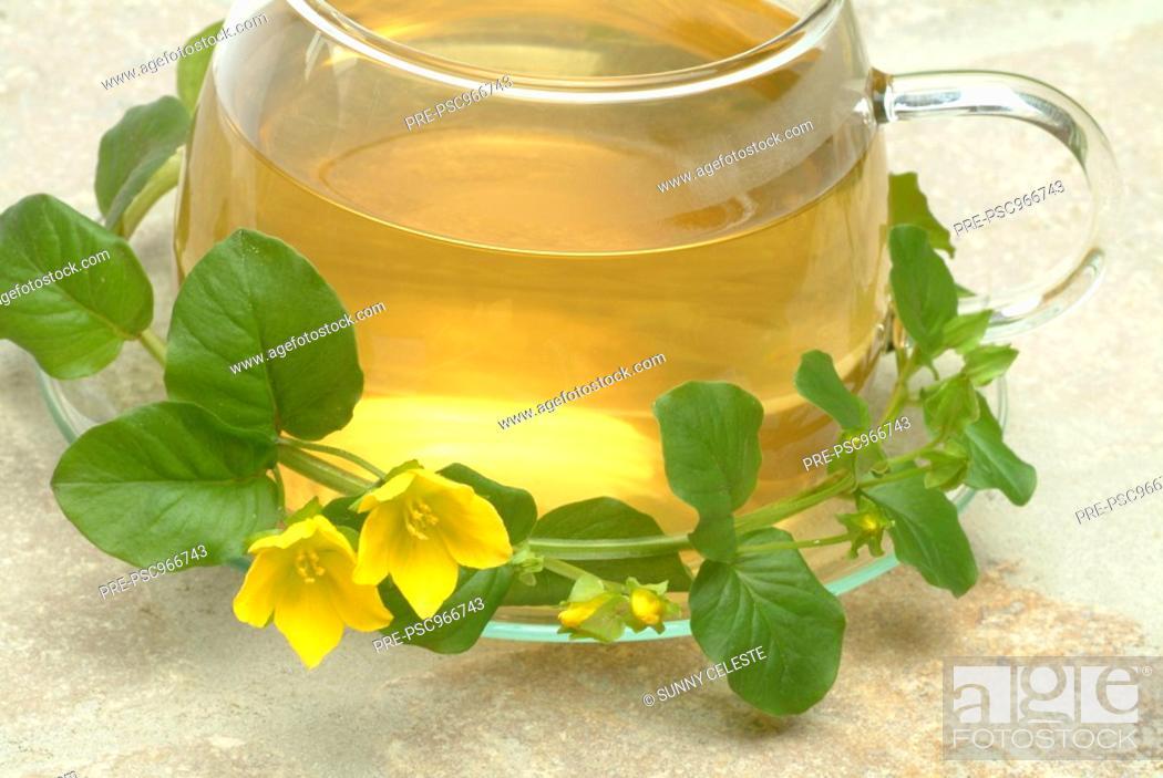 Stock Photo: Creeping Jenny Tea, infuso di Mazza d oro minore, Lysimachia nummularia, Mazza d oro minore, medicinal tea,.
