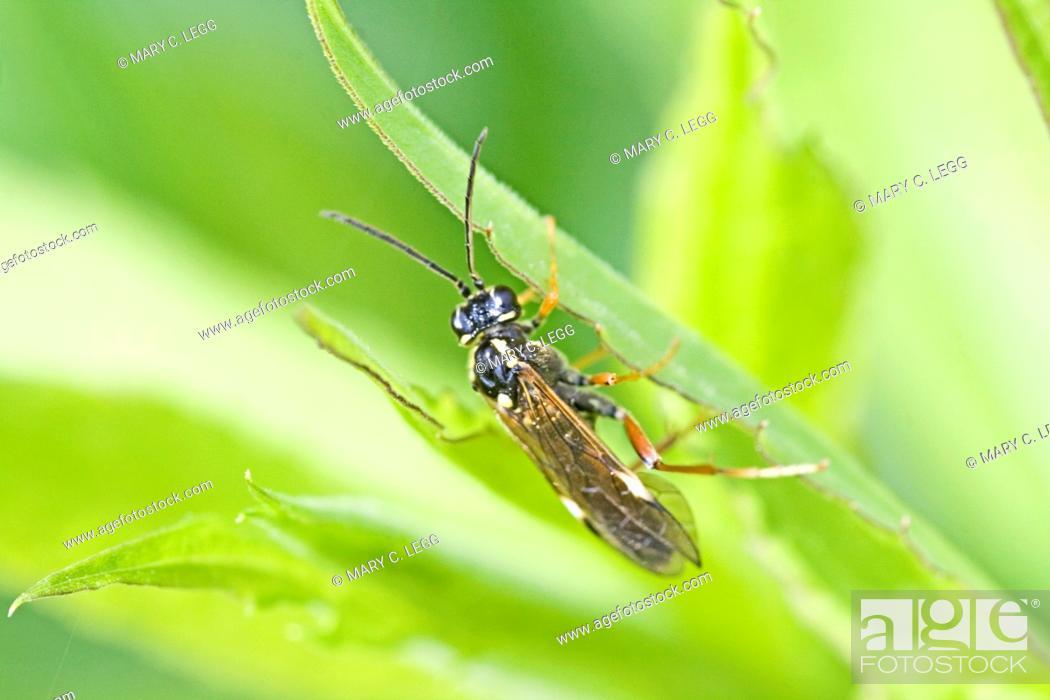 Stock Photo: Sawfly, Tenthredo sp  Tenthredo atra closest identification found  Sawfly with red legs, long antennae  Abdomen is bi-colored.