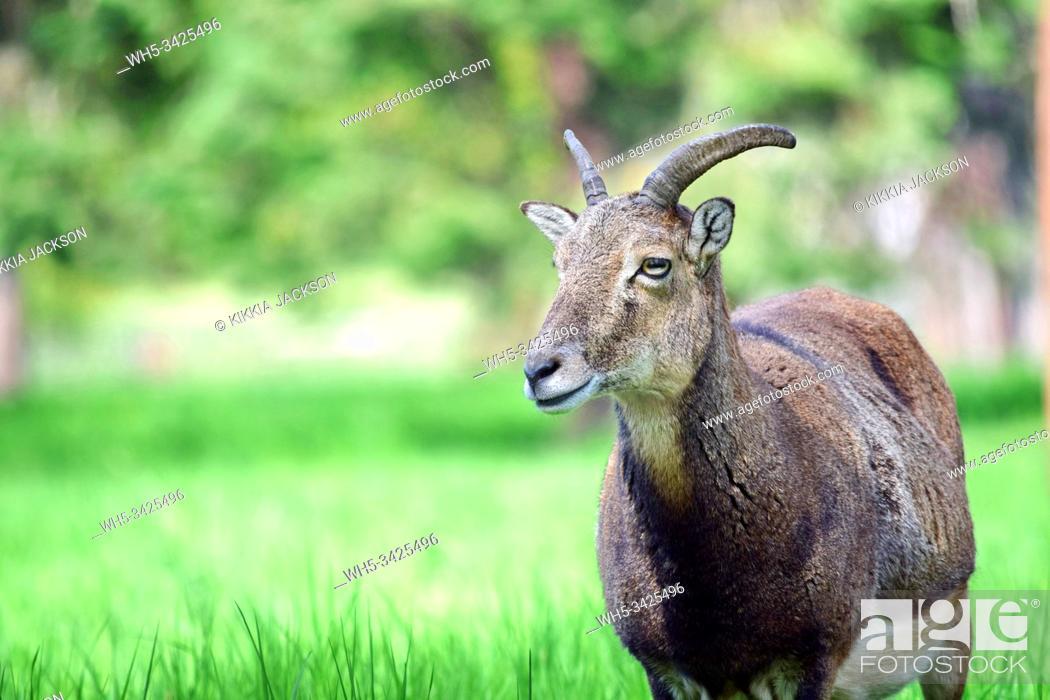 Stock Photo: Mouflon Ovis Aries Musimon Portrait, Czech Republic.