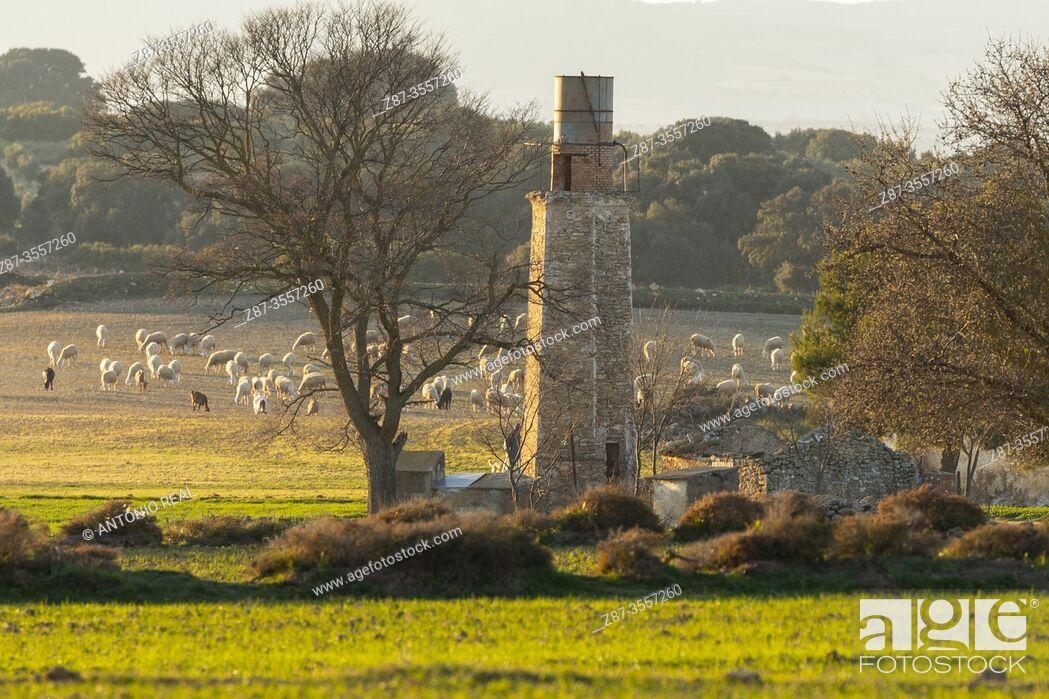 Stock Photo: Flock of sheep. Paraje de Botas, Almansa, Albacete province, Castile-La Mancha, Spain.