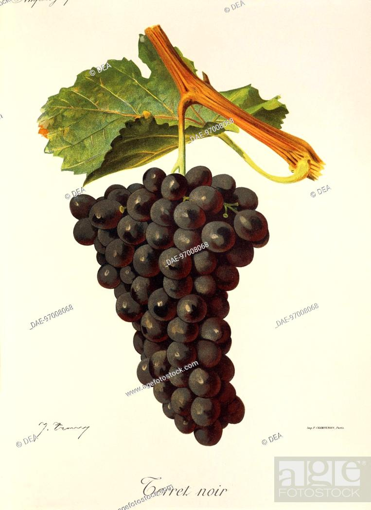 Stock Photo: Pierre Viala (1859-1936), Victor Vermorel (1848-1927), Traite General de Viticulture. Ampelographie, 1901-1910. Tome V, plate: Terret Noir grape.