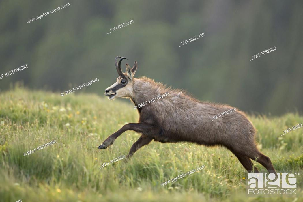Stock Photo: Alpine Chamois ( Rupicapra rupicapra ) in a hurry, on the run, jumping over flowering mountain meadows, in action, wildlife, Europe.