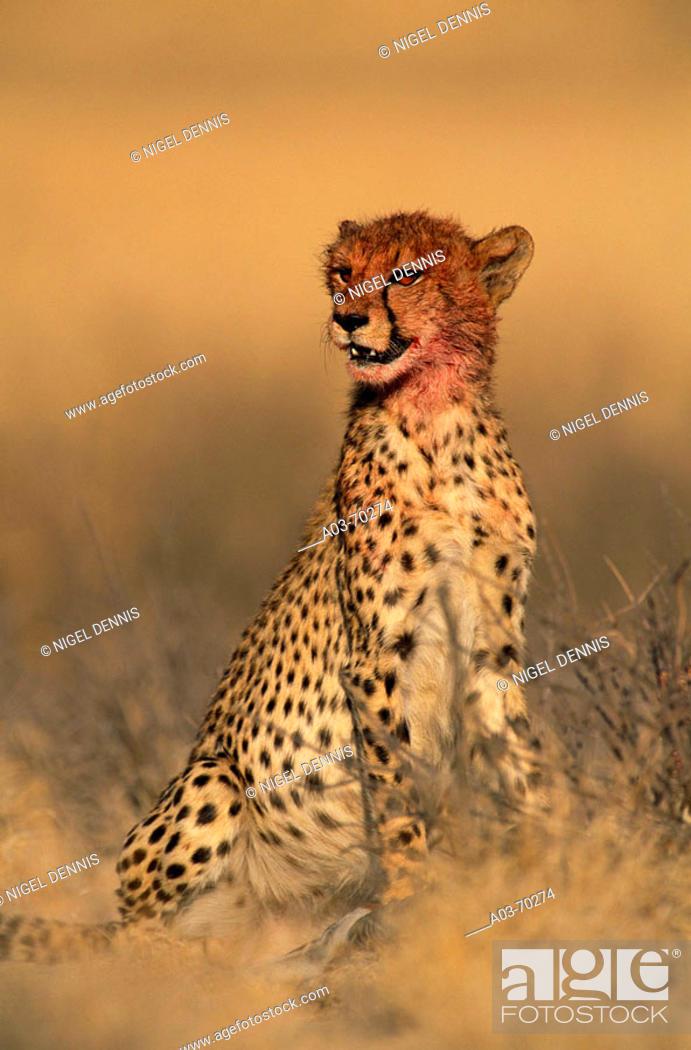 Stock Photo: Cheetah (Acinonyx jubatus). Kalahari, Africa.