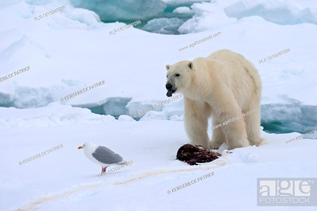 Stock Photo: Young male polar bear (Ursus maritimus) feeding on the remains of a killed seal on pack ice.