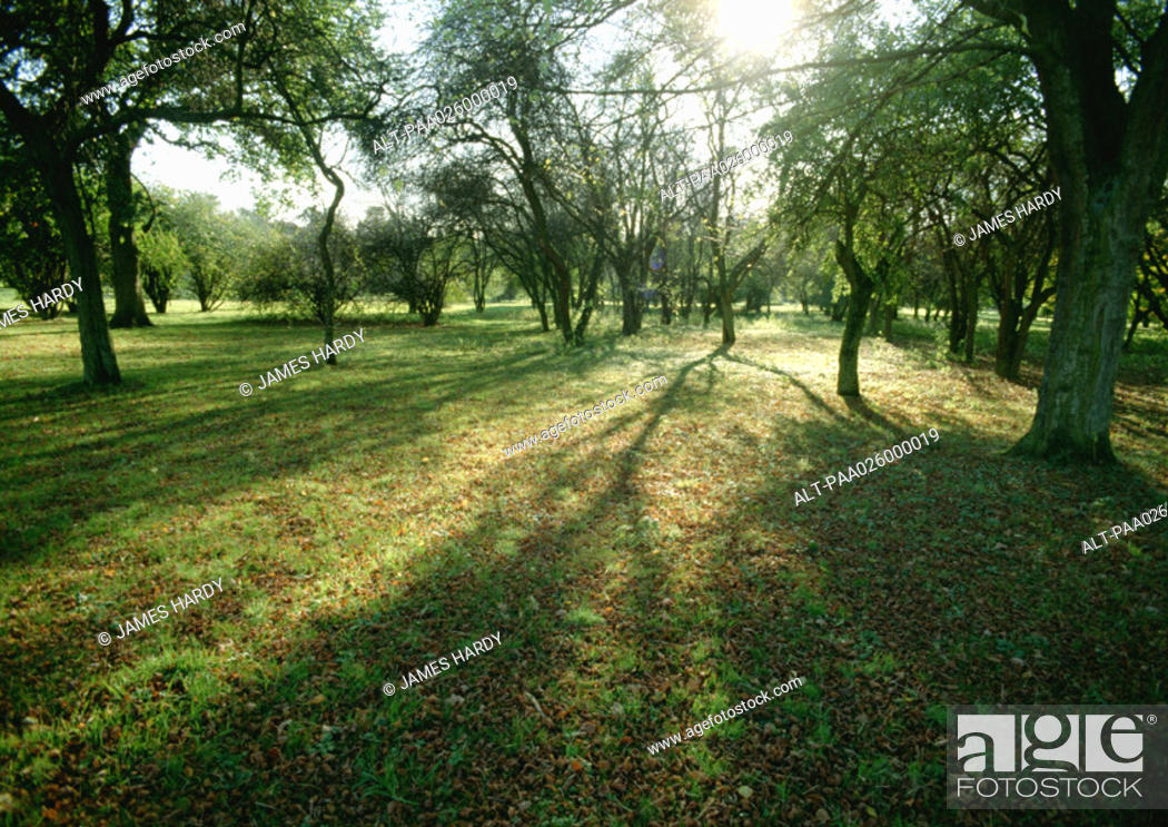 Stock Photo: France, Picardy, trees in field with sun shining through branches.