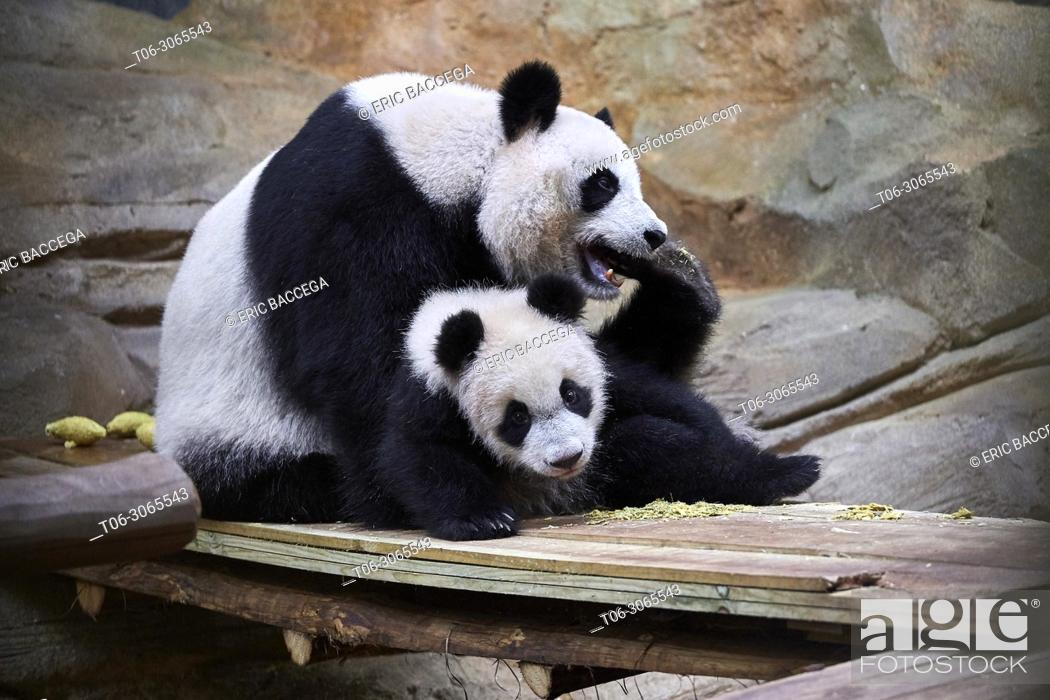 Stock Photo: Giant panda female Huan Huan playing with her cub (Ailuropoda melanoleuca). Yuan Meng, first giant panda ever born in France, is now10 months old.