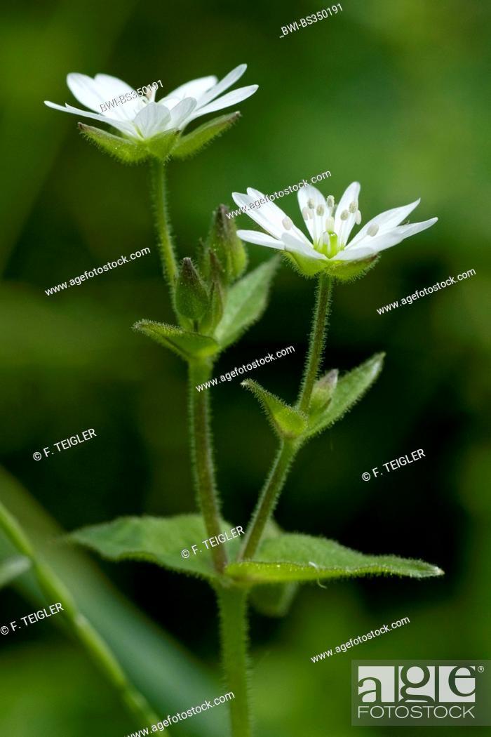 Stock Photo: water chickweed, water starwort, giant-chickweed (Myosoton aquaticum, Stellaria aquatica), blooming, Germany.