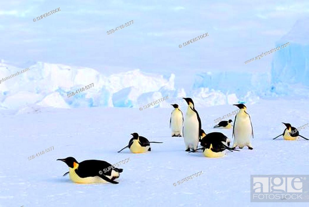 Imagen: antarctica, riiser-larsen ice shelf, emperor penguins tobogganing, iceberg background.