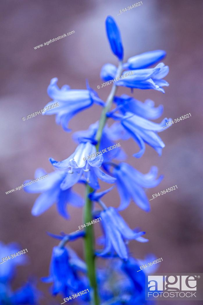 Stock Photo: Flowers of the Hyacinthoides hispanica, Spanish blue bells in the spring time.