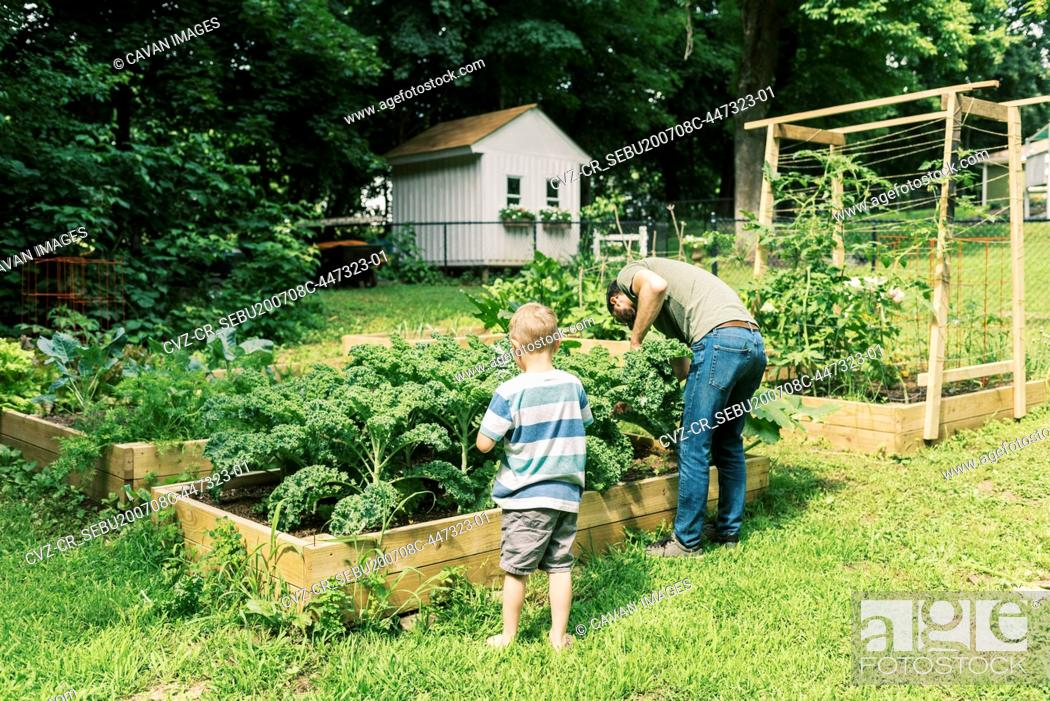 Stock Photo: A father and son harvesting kale for dinner.