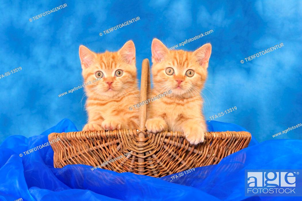 Stock Photo: 2 British Shorthair kitten in basket.