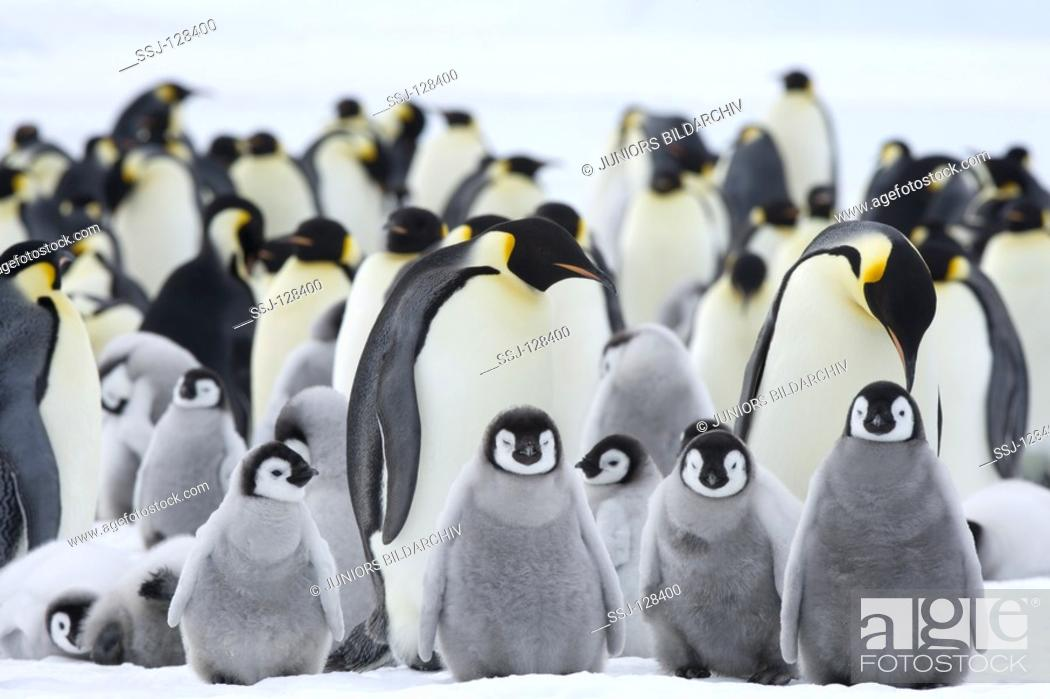 Stock Photo: emperor penguins with cubs - Aptenodytes forsteri.
