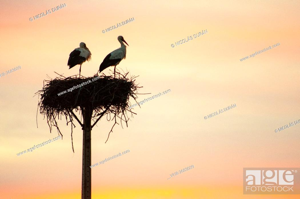 Stock Photo: Sunset with couple of white storks in the nest. San Vicente de Alcantara. Province of Badajoz. Extremadura. Spain.