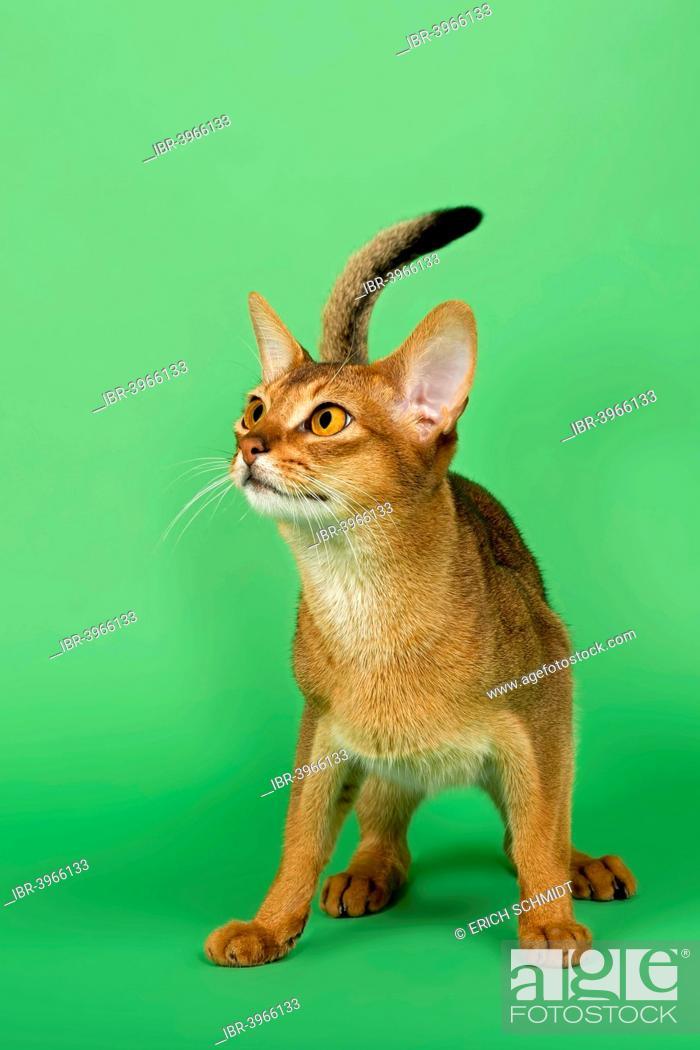 Abyssinian Cat Ruddy