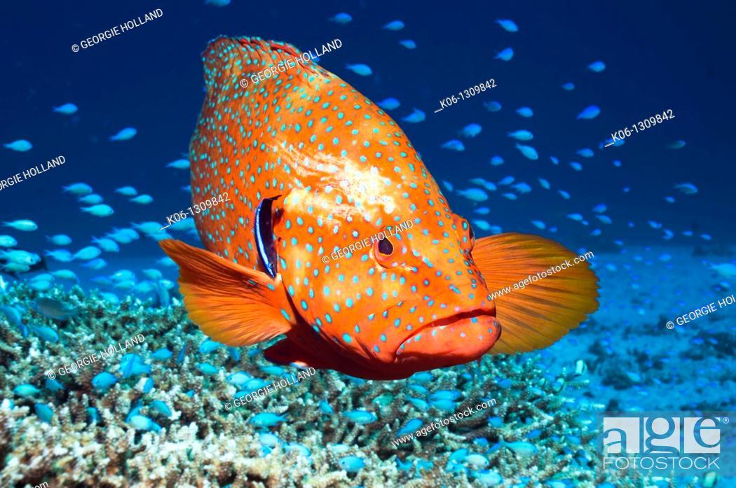 Stock Photo: Coral Hind (Cephalopholis miniata) with Bluestreak cleaner wrasse (Labroides dimidiatus). Andaman Sea, Thailand.