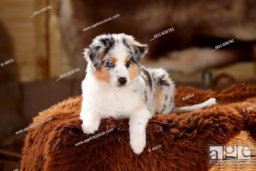 Miniature Australian Shepherd Puppy Blue Merle 10 Weeks Stock Photo Picture And Rights Managed Image Pic Rdc 838782 Agefotostock