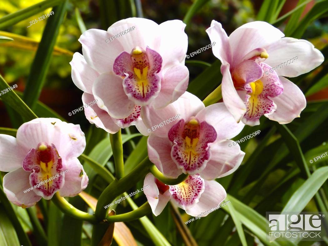 Stock Photo: Boat orchid, Cymbidium, Botanical Park, Kerala, India.