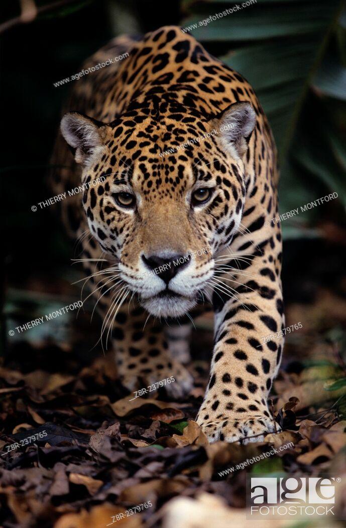 Stock Photo: Panthera onca. Jaguar about to bound. French Guiana.