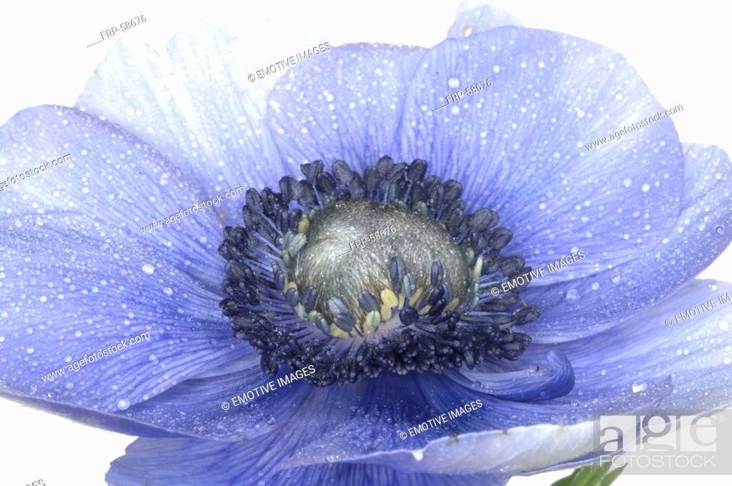 Stock Photo: blue anemone.