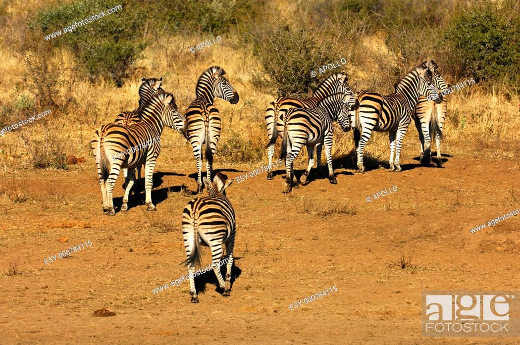 Stock Photo: Herd of Burchell's Zebras Equus burchelli in the bushland, South Africa.