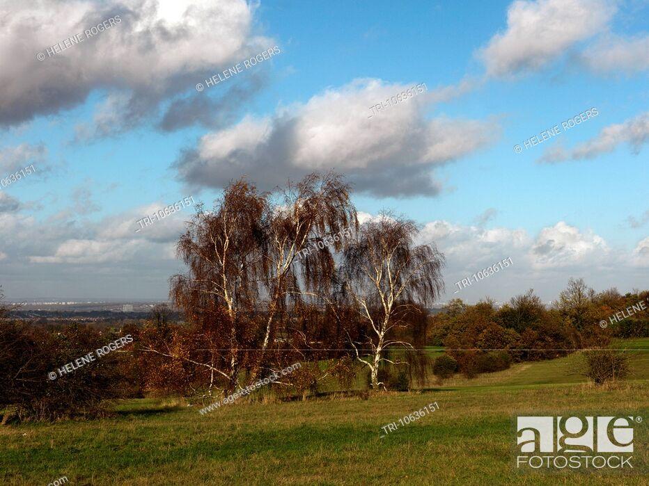 Imagen: Epsom Downs Surrey England Silver Birch Trees.