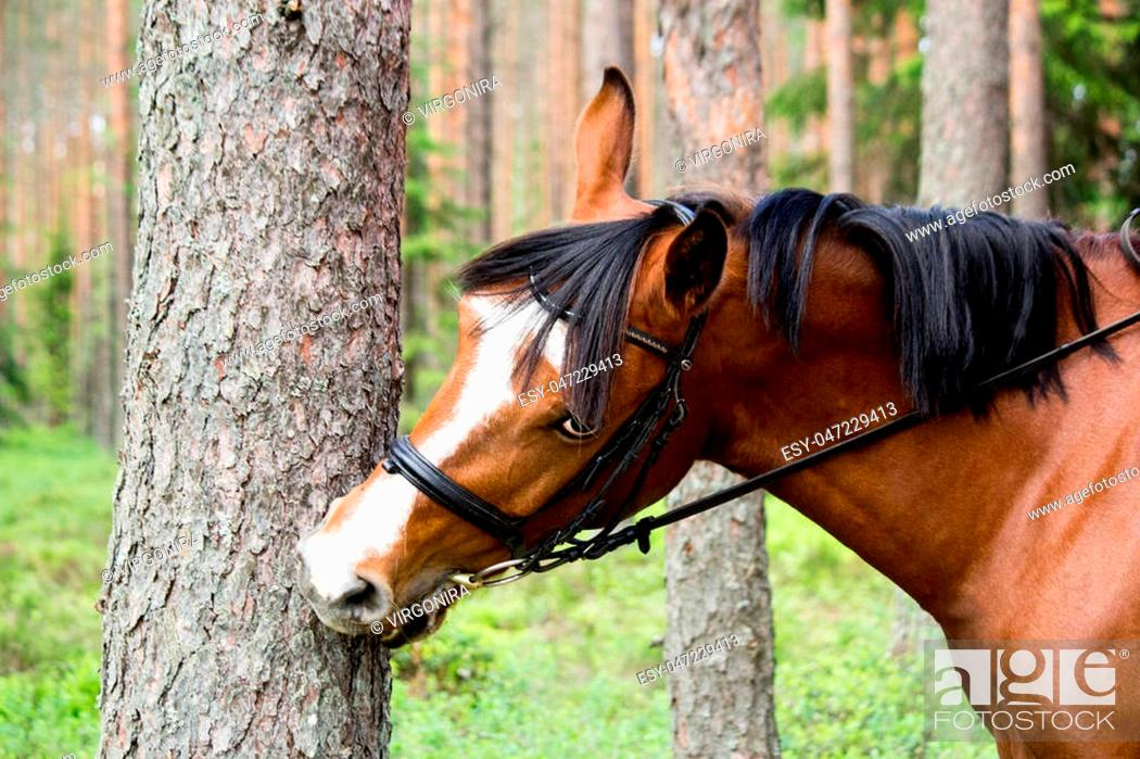 Stock Photo: Funny horse chewing on the tree log in forest.
