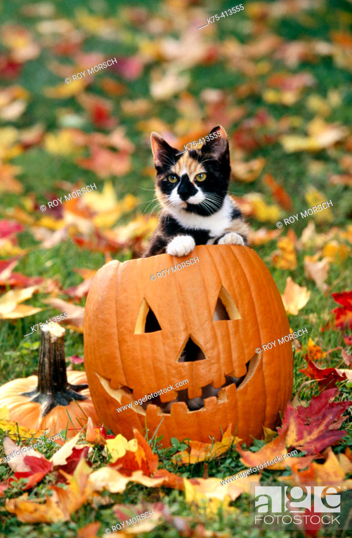 Stock Photo: Cat on Halloween pumpkin.