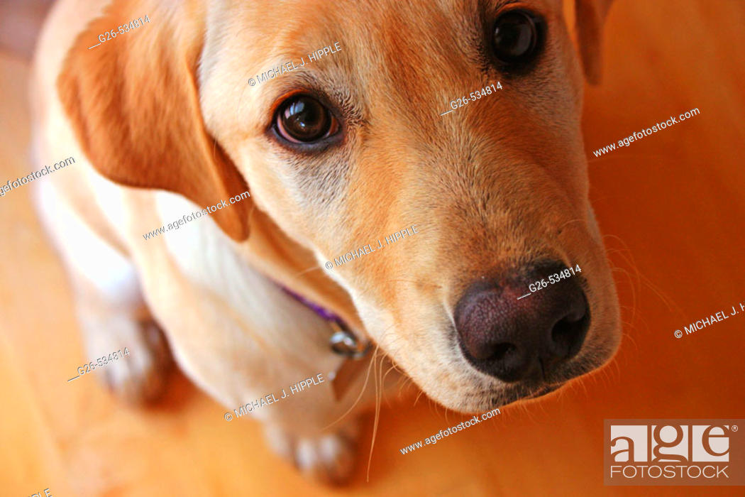 Stock Photo: Golden labrador retriever puppy.